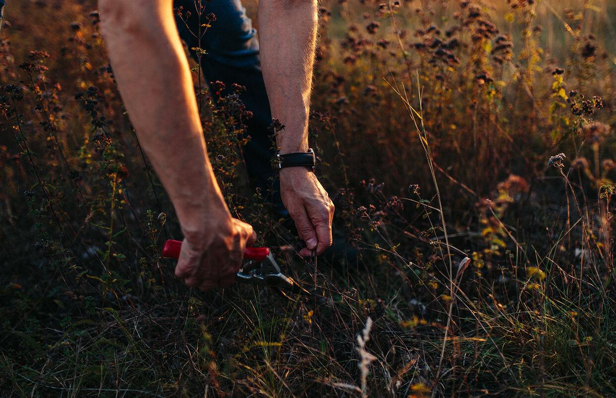 Kräuter ernten vom Feld